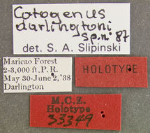 Image of <i>Catogenus darlingtoni</i> Slipinski 1989