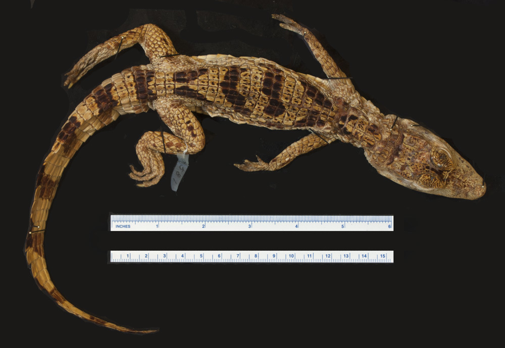 Image of Brown Spectacled Caiman