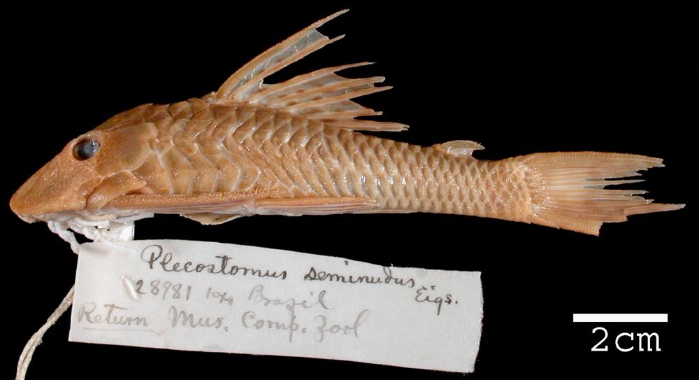 Image of <i>Plecostomus seminudus</i>