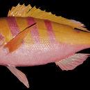 Image of <i>Apsilus brighami</i>
