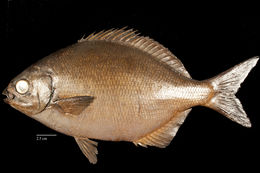 Image of Bermuda chub