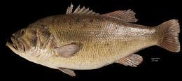 269.29241 micropterus salmoides jpg.260x190
