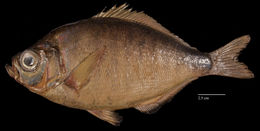 Image of walleye surfperch