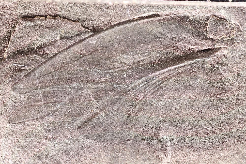 Image of Eoblattidae