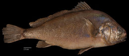 Image of Freshwater Drum