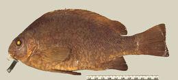 Image of Rapanui nibbler
