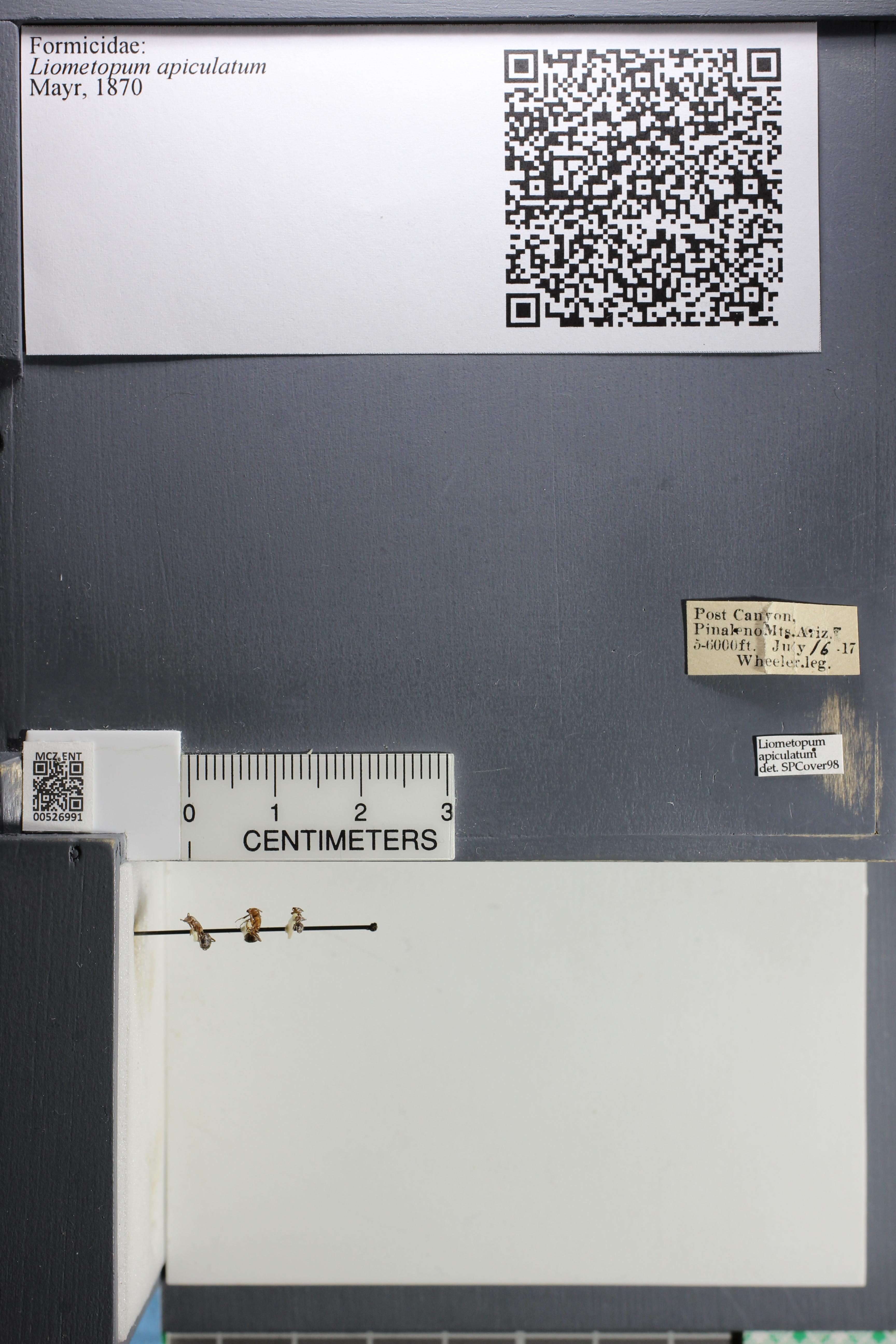 Image of <i>Liometopum apiculatum</i> Mayr 1870