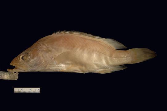 Image of Big-eye mandarin fish