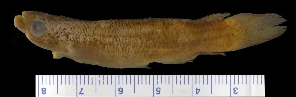 Image of <i>Rivulus holmiae</i>