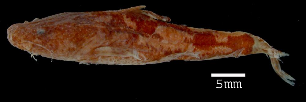 Image of <i>Pseudopimelodus albomarginatus</i>