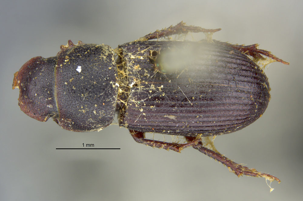 Image of <i>Ataenius abditus</i> (Haldeman 1848)