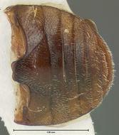 Image of <i>Hyperaspis spiculinota</i> Fall 1901