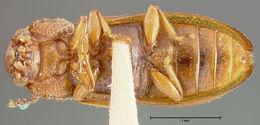 Image of <i>Sphindocis denticollis</i> Fall 1917