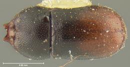 Image of <i>Ceracis punctulatus rubriculus</i> Lawrence 1967