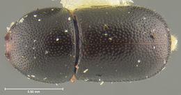 Image of <i>Ceracis nigropunctatus</i> Lawrence 1967
