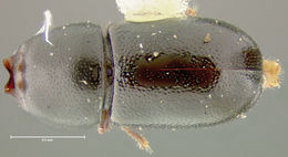 Image of <i>Ceracis magister</i> Lawrence 1971