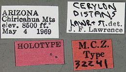 Image of <i>Cerylon distans</i> Lawrence & Stephan 1975