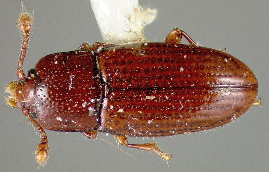 Image of <i>Philothermus occidentalis</i> Lawrence & Stephan 1975