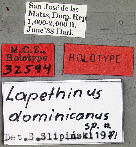 Image of <i>Lapethinus dominicanus</i> Slipinski 1984