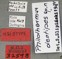 Image of <i>Philothermus dentipes</i> Slipinski 1982