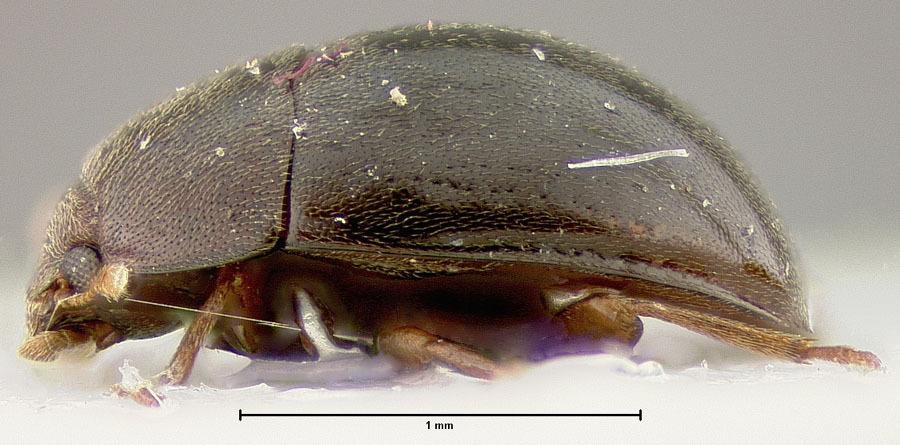 Image of <i>Enneboeus rotundus</i> Merkl 1988