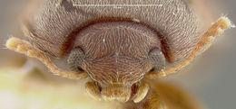 Image of <i>Sivacrypticus philippinus</i> Merkl 1988