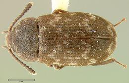 Image of <i>Mycetophagus praetermissus</i> Parsons 1975