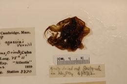 Image of <i>Opisthoteuthis agassizii</i> Verrill 1883