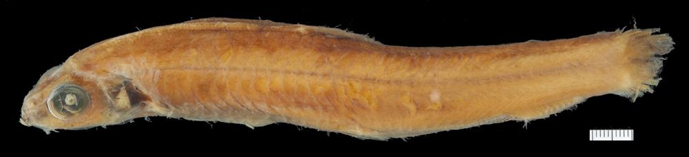 Image of <i>Bathylagichthys kobylianskyi</i> Gon & Stewart 2014
