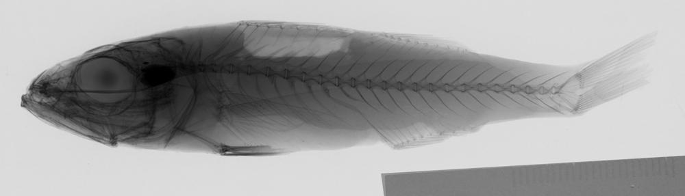 Image of threespine bass