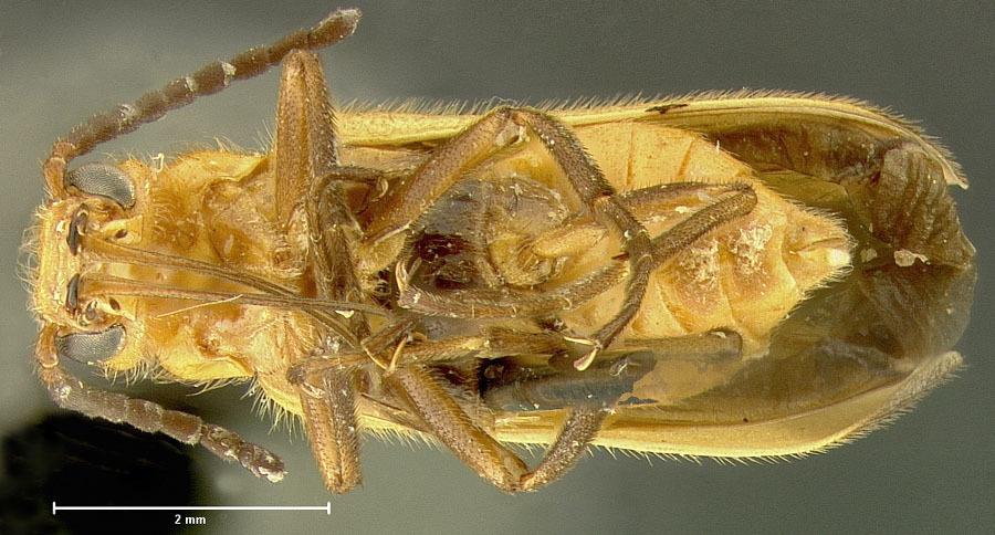 Image of <i>Nemognatha</i> (<i>Pauronemognatha</i>) <i>capillaris</i> Enns 1956