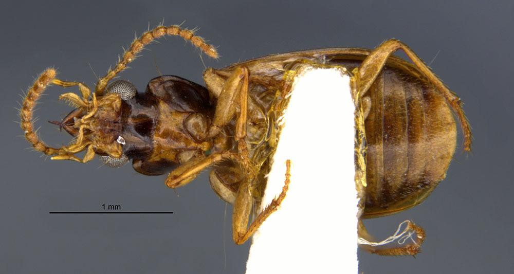 Image of <i>Perigona</i> (<i>Trechicus</i>) <i>dorsata</i> Darlington 1964