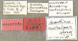 Image of <i>Acanthinus australiensis</i> Werner 1970