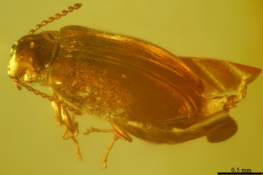 Image of <i>Electribius oligocenicus</i> Crowson 1973