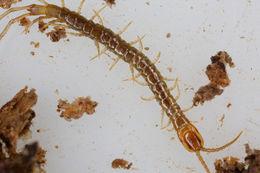 Image of <i>Craterostigmus crabilli</i>