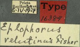 Image of <i>Euderces velutinus</i> (Fisher 1931)