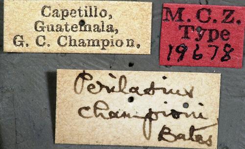 Image of <i>Perilasius championi</i> Bates 1880