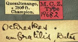 Image of <i>Ochraethes umbratilis</i> Bates 1885