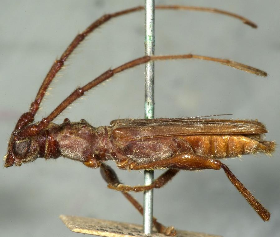 Image of <i>Ozodes multituberculatus</i> Bates 1870