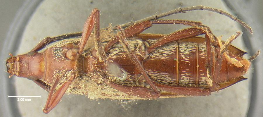 Image of <i>Stenosphenus ochraceus</i> Bates 1872
