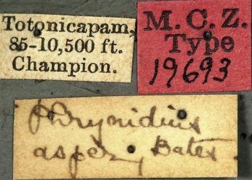Image of <i>Phrynidius asper</i> Bates 1885