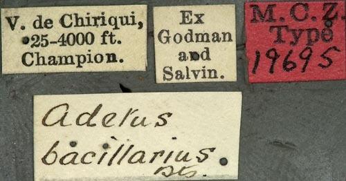 Image of <i>Adetus bacillarius</i> Bates 1885