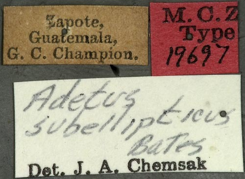 Image of <i>Adetus subellipticus</i> Bates 1880