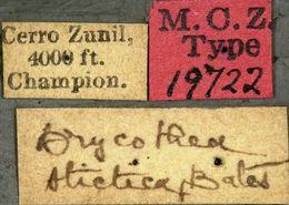 Image of <i>Drycothaea stictica</i> Bates 1881