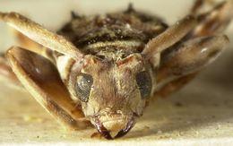 Image of <i>Ozineus torquatus</i> Bates 1881
