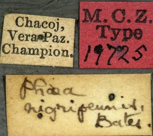 Image of <i>Phaea nigripennis</i> Bates 1881