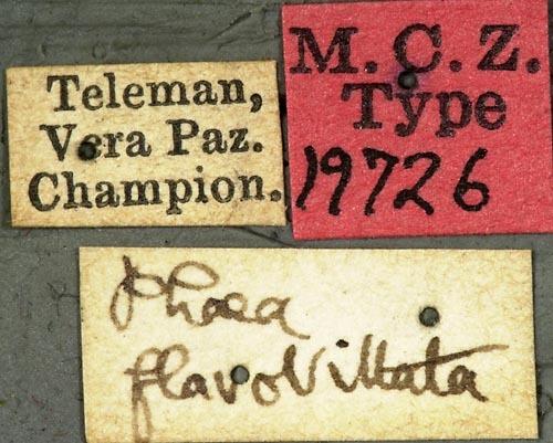 Image of <i>Phaea flavovittata</i> Bates 1881
