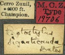 Image of <i>Leptostylus signaticauda</i> Bates 1885