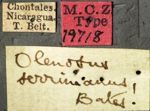 Image of <i>Olenosus serrimanus</i> Bates 1872