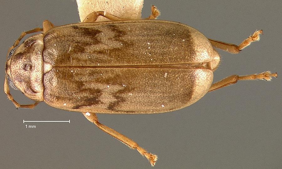 Image of <i><i>Dorynota</i></i> (Dorynota) <i>pubescens</i> (Blake 1939)